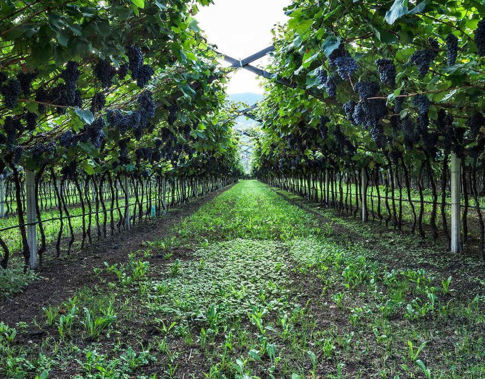 wine-archive-teroldego__01