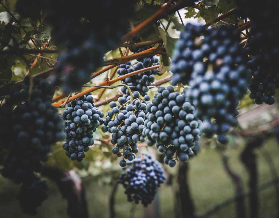 wine-archive-teroldego__02